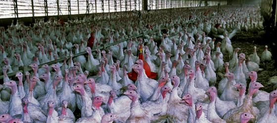 איך מתמודדים עם שפעת העופות? משביתים את מערכת האוורור ומניחים לעופות להיחנק למוות