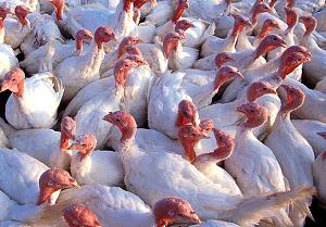 18,000 עופות נוספים הושמדו מחשש נוסף לשפעת העופות