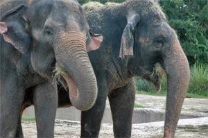 התעללות בפילים בתעשיית התיירות בתאילנד