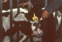 רפתן תופס את אחת הפרות באפהעם מלקחיים, ומושך את ראשה בין הסורגים.