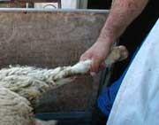 אלימות כלפי כבש