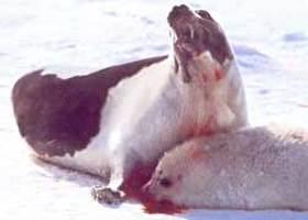 ציד כלבי ים בקנדה