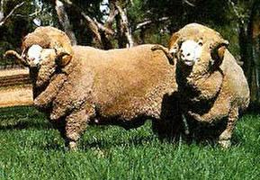 כבשים באוסטרליה: בין זבובים לסכינים