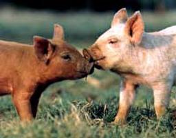 תעשיית החזירים