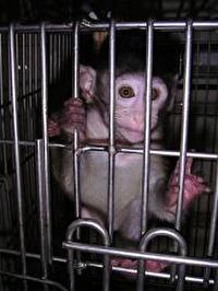 עדות מתוך מעבדת הקופים