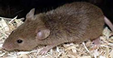 עכברים מנסים לברוח