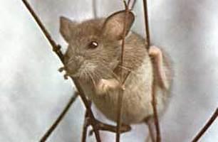 נייר טואלט לעכבר