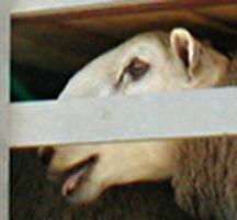 להפעיל את חוק צער בעלי-חיים