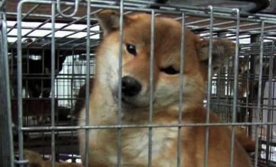 למעלה כלבים גזעיים ומחלות תורשתיות - אנונימוס לזכויות בעלי חיים ET-77