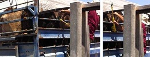 Seeing red: Tnuva slaughterhouse exposed