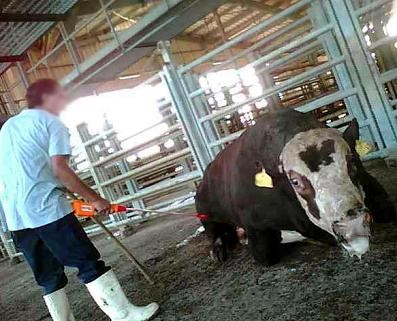 "Ten months after the expose: charges pressed against ""Adom Adom"" slaughterhouse employees"