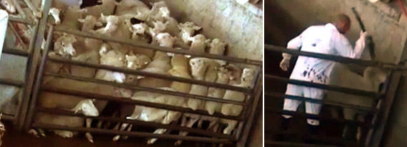 Undercover investigation at Dabbach – the biggest slaughterhouse in Israel
