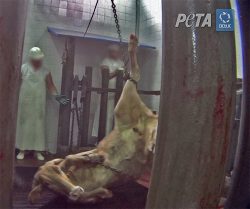 Undercover Investigation: Shackle and Hoist Slaughter in South America