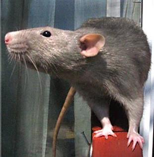 בלתי רגיל ניסויים בבעלי חיים-חולדות - אנונימוס לזכויות בעלי חיים XL-74