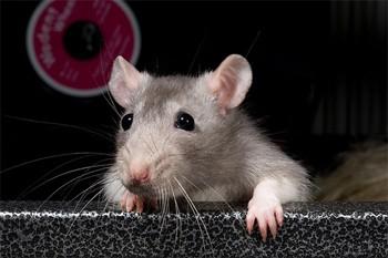 אדיר ניסויים בבעלי חיים-חולדות - אנונימוס לזכויות בעלי חיים EG-51