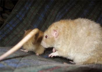 הגדול ניסויים בבעלי חיים-חולדות - אנונימוס לזכויות בעלי חיים EM-76