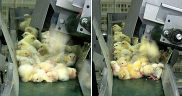 Chicks falling on the conveyor belt and on top of each other